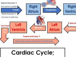 Heart Flow Chart The Heart Cardiac Cycle Systole And Diastole Heart Stroke Arteries And Veins Resource Package