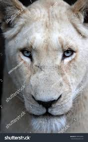 white lioness with blue eyes. Interesting Lioness A White Lioness Looking Intensely With Her Blue Eyes In This Beautiful  Close Up Photo Of On White Lioness With Blue Eyes K