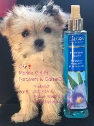 ohpuppylove dog breeds morkie shorkie maltipoo poodle mix maltipoos maltipoo maltipoo puppies for adoption maltese poodle