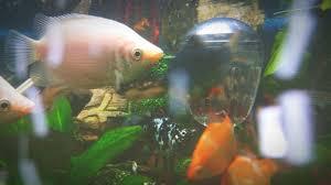 Treating Ammonia Poisoning in Aquariums Both New and Established. Freshwater  Aquarium Basics