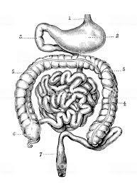 アンティーク彫刻イラスト 胃と腸 19世紀のベクターアート素材や画像を