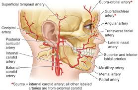 arteries of the face branches facial artery google search medical pinterest