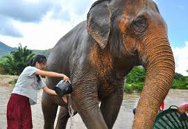 elephant car insurance number beautiful animal welfare second to money making in elephant tourism