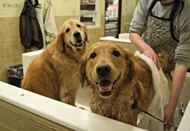 harley jumped into the dog bath tub while we were giving charlie a bath