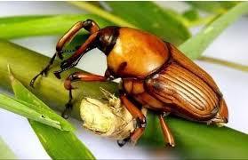 鄉下一種昆蟲,它曾被農民當成是害蟲,現在很稀有,藥用價值高- 壹讀