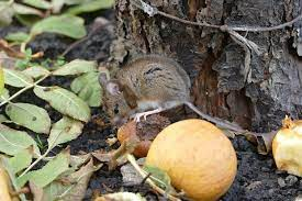 mouse control ways to keep rodents out