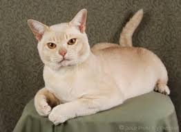 Burmese Kitten Weight Chart Burmese Cat Breed Cat Facts And Breed Profile