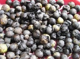 harvesting black walnuts. Beautiful Harvesting Walnuts 001 Medium In Harvesting Black Walnuts A