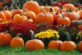 Fall Gardening Tip For Fall MumsFall Gardening