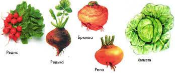 Культурные растения семейства крестоцветных урок Биология  Наиболее ценное культурное растение из семейства крестоцветных капуста Человек выращивает капусту уже более 4 тыс лет За несколько веков выращивания