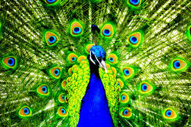 peacock wallpaper for mobile. Brilliant Peacock 1600x1067 Peacock Mobile Tablet Laptop Wallpaper Images White   To Peacock Wallpaper For Mobile X
