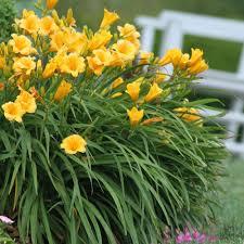 garden bulbs. #1 Fragrant Returns Daylily Bulbs (15-Pack) Garden