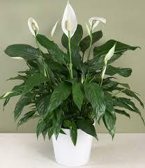 common indoor plants savingourboys info common household plants