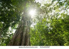 outdoor woods backgrounds.  Backgrounds Tropical Rain Forest With Green Treesnature Wood Sunlight Backgrounds  515409397 In Outdoor Woods Backgrounds K