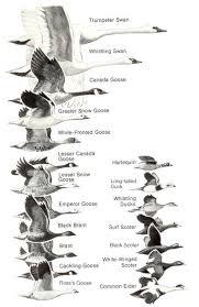 U S Fish Wildlife Service Migratory Bird Program