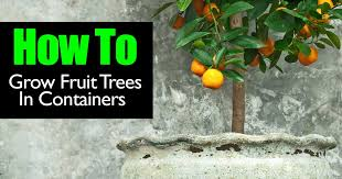 fruit trees containers 013115