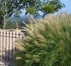 Tall Decorative Grass Similiar Tall Grasses For Landscaping Keywords