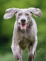 weimaraner dog breed information and photos weimaraner rament dog breed info