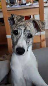 Puppy Growth Chart Odin Whippet Male