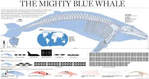 Whales By Size Chart Bio227fall2015 08 Blue Whales