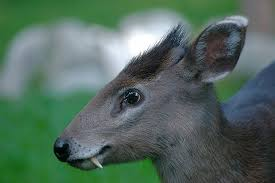 Uncute Tufted Deer