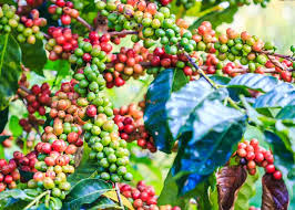 Close the lid of the popper and begin turning the crank handle. What Is Arabica Coffee Arabica Vs Robusta 11 Tasty Differences Enjoyjava