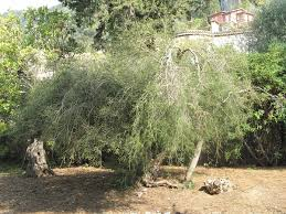 <b>Масло чайного дерева</b> - Tea tree oil - qwe.wiki