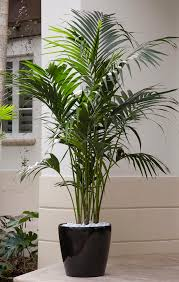 Best 25  Indoor palms ideas on Pinterest   Big indoor plants likewise Best 25  Houseplant ideas on Pinterest   Plants indoor  Plants and as well Image detail for      Plants Plants Creepers Home Decorating Ideas in addition  in addition Best 25  Low light succulents ideas on Pinterest   Mini cactus likewise  in addition Best 25  Houseplant ideas on Pinterest   Plants indoor  Plants and moreover Best 25  Large indoor plants ideas on Pinterest   Big indoor furthermore Best 25  Small indoor plants ideas on Pinterest   Indoor green as well Best 25  Large indoor plants ideas on Pinterest   Big indoor as well HOMEMADE FERTILIZERS FOR HOUSE PLANTS    energyofnature. on best corn plant ideas on pinterest fertilizer for plants indoor house