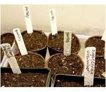 How To Germinate Flower Seeds Paper Towel Germinating Seeds In Soil Versus Paper Towel
