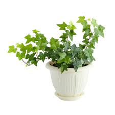 Ivy - Lowe's Greenhouse