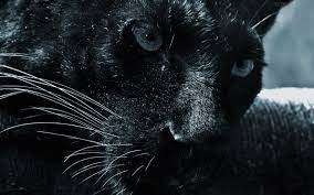 Black Jaguar Animal Hintergrundbilder ...