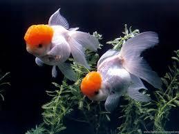 goldfish wallpaper desktop. Brilliant Goldfish On Goldfish Wallpaper Desktop L