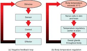 Homeostasis Anatomy And Physiology I