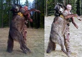 Wolf Vs Dog Size Chart Are Wolves Out Of Control In Idaho Page 14 Stormfront