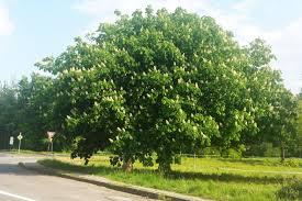 Image result for horse chestnut