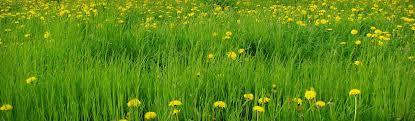 tall green grass field. Green Tall Grass With Yellow Dandelions Flowers Background Header Field