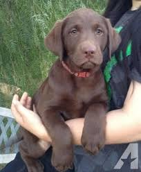 american chocolate lab puppies. Chocolate Lab Pups Pets And Animals For Sale In The USA Puppy Kitten Classifieds Page 40 Buy Sell Kittens Puppies AmericanListed To American