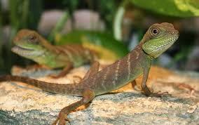 Image result for baby chinese water dragon