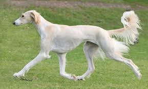 saluki dog. saluki dog breed