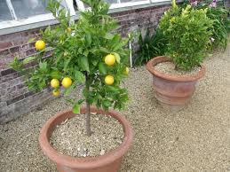 Why Do My Orange Trees Have No Fruit Blame Pruning Watering How Often Should I Water My Fruit Trees