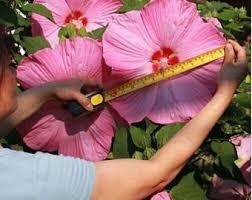 hibiscus flowers hibiscus flower etsy