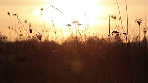 tall grass field sunset. Tall Grass Field Sunset