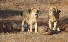 indian pangolin defending itself against asiatic lions