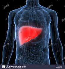 Liver Anatomy Human Liver Anatomy Stock Photo 222933468 Alamy