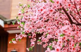 Bunga Sakura 5 Fakta Unik Bunga Sakura Blog Panorama Jtb Experience