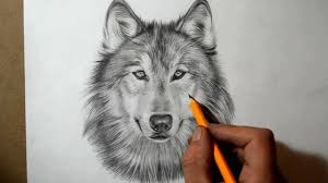 gray wolf face drawing.  Drawing With Gray Wolf Face Drawing A