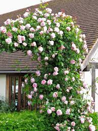 Top 10 Beautiful Climbing Plants For Fences And Walls  Pretty Climbing Plants For Fence