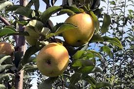 Penn State Apple Maturity Chart General Fruit Growing