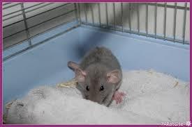 """Résultat de recherche d'images pour """"rat domestique bleu"""""""
