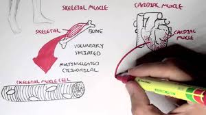 The type of muscle corresponds with their function. Myology Introduction Skeletal Cardiac Smooth Muscles Youtube